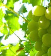 Organic Grapes Green – 500 gms